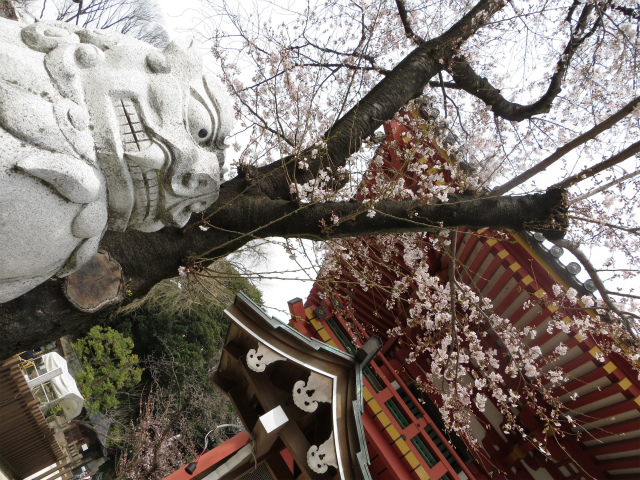 目黒不動尊・狛犬と桜