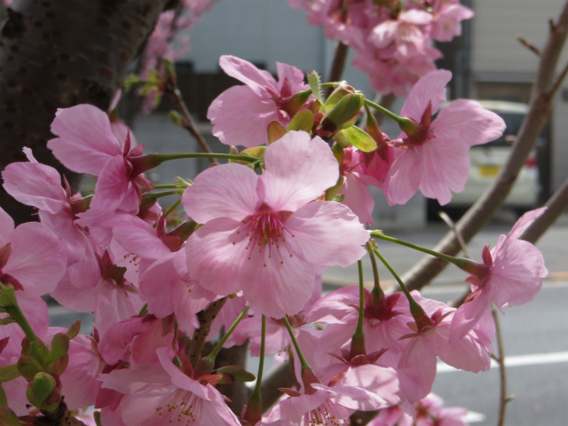 かむろ坂上の桜